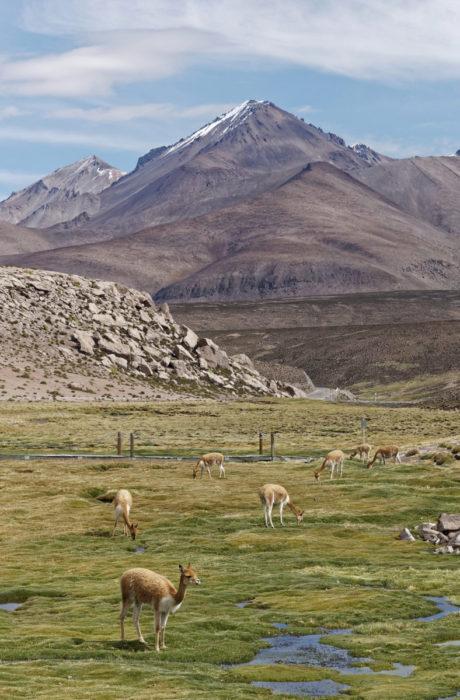 Laamansukuiset vikunjat laiduntavat Laucan luonnonpuistossa 4 500 metrin korkeudella merenpinnasta lähellä Bolivian rajaa. - Ajomatka puistoon kestää rannikolta Arican kaupungista noin kolme tuntia, ja nopean nousun huomaa päänsärkynä, Einari Ojala kertoo.